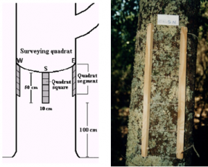 Reticolo di campionamento e suo posizionamento sull'albero (forofita)