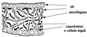 Sezione di tallo lichenico omeomero